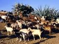 Peste des petits ruminants (PPR)