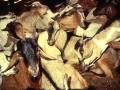 Getter i Etiopien med PPR