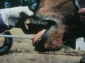 Lesion, läpp, häst