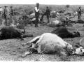 Bekämpning av boskapspest