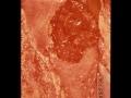 Placenta, nöt