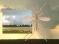 Stickmyggor