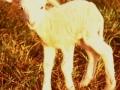 Nyfödda lamm, känsliga